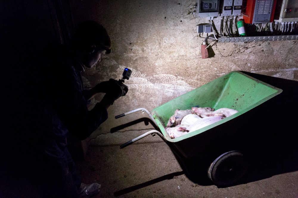 Ein Mann filmt eine Schubkarre mit mehreren Schweineleichen