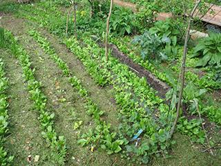 Bild von mit Gras gemulchten Pflanzenreihen (vor allem Spinat)