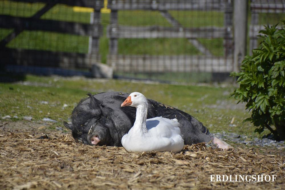 Bonnie, das Schwein und Möp Möp, die Gans, liegen faul auf der Wiese rum und lassen es sich gut gehen