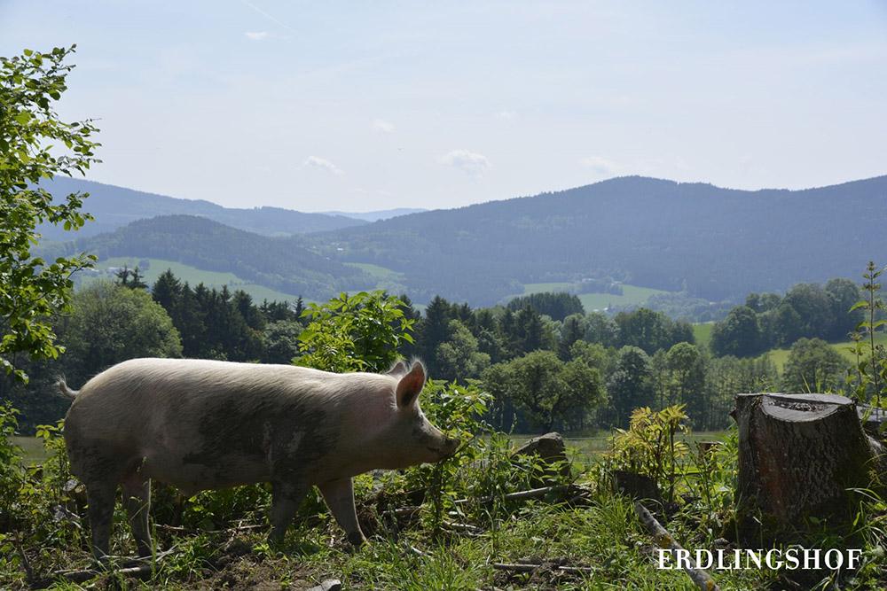 Das Schwein Carsten in einem Waldstück mit bester Aussicht auf das Umland