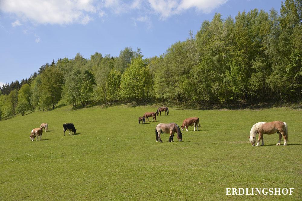 Die Pferde des Erdlingshofes auf der Weide