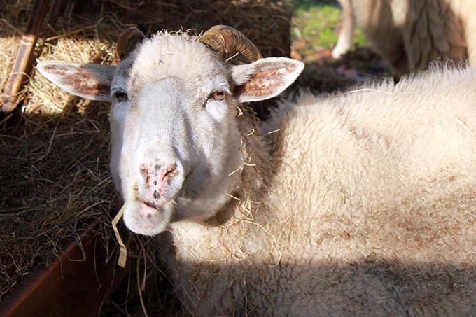 Schaf beim Essen gestört