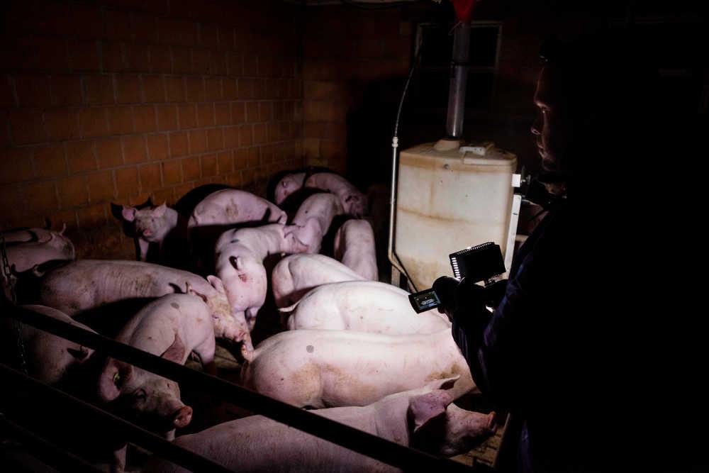Ein Mann filmt im Dunkeln mit Kamera und Lampe dicht stehende Schweine in einem Schweinestall
