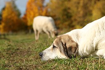 Zeus, der gutmütige Land-der-Tiere-Hund, liegt entspannt rum, währen im Hintergrund ein Schaf die Wiese kürzt