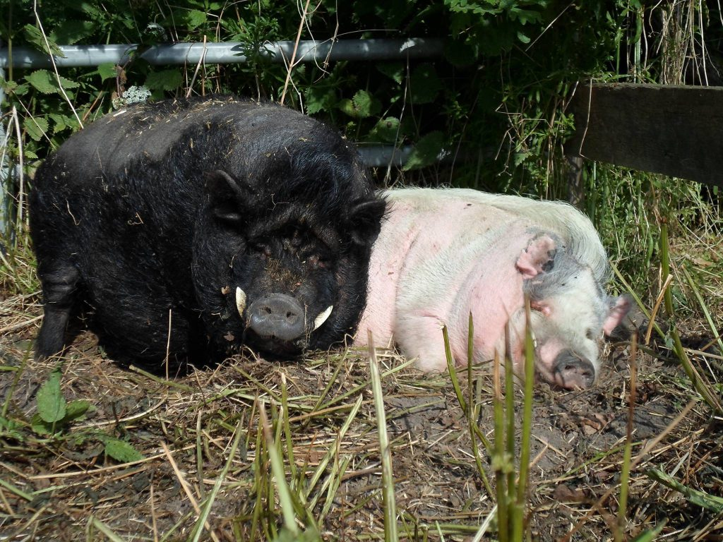 Zwei Schweine, die gemütlich rumliegen