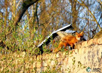 Ein Fuchs klettert auf den Bunkerruinen im Land der Tiere rum.