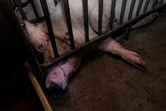 Kastenstand in der Schweinezucht - an Bewegung ist nicht zu denken.