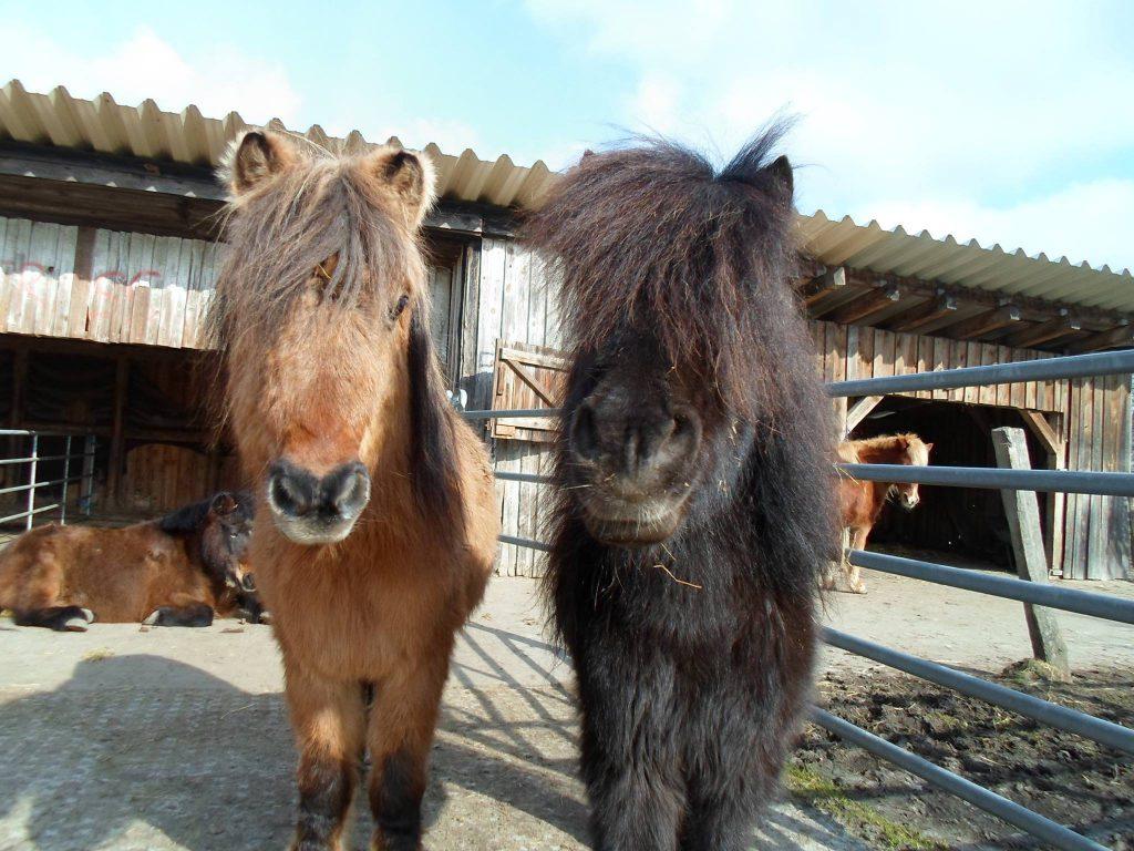 Zwei Pferde auf einem Hof, die direkt in die Kamera schauen und einen lustigen Pony haben